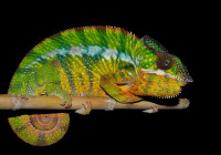 Furcifer pardalis - Haplotype 3 (Ambilobe)