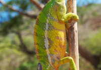 Furcifer pardalis - Haplotype 7 (Daraina)