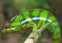 Furcifer pardalis - Haplotype 8 (around Vohemar)
