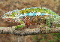 Furcifer pardalis - Haplotype 10 (around Sambava)