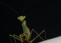Very nice mantis