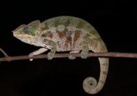 Furcifer pardalis - Haplotype 9 (Sainte-Marie)