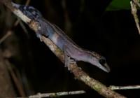 Paroedura gracilis