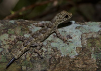 Hemidactylus platycephalus
